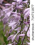 Small photo of Hosta blossoming in a garden.Flower vegetable background Vertically. Macro. Close up. Asparagaceae Family. Asparagales