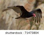 Male Turkey Vulture Flying