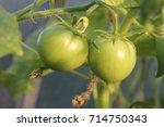 unripe tomatoes fruit on green... | Shutterstock . vector #714750343