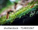 the green moss on a brown wood... | Shutterstock . vector #714831067