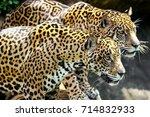 Closed Up Tigers  Jaguar ...