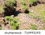 cute wild hamster pokes head... | Shutterstock . vector #714993193
