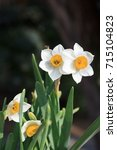 white narcissus growing in the... | Shutterstock . vector #715104823