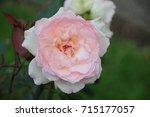 Small photo of Rose type Phaedra in Rosarium, Boskoop, The Netherlands