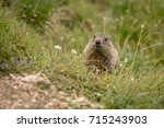 Marmot In Italian Mountains