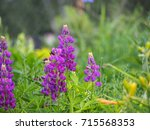 blooming lupin  lupine  lupinus ... | Shutterstock . vector #715568353