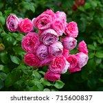 pink roses  | Shutterstock . vector #715600837