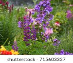 blooming lupin  lupine  lupinus ... | Shutterstock . vector #715603327