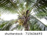 coco palm with tropic leaves.... | Shutterstock . vector #715636693
