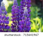 blooming lupin  lupine  lupinus ... | Shutterstock . vector #715641967