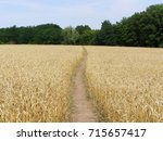 Gold Field With Footpath