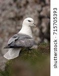 northern fulmar  fulmarus... | Shutterstock . vector #715705393