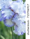 Small photo of Tall Bearded Iris Acoma. Colors: Light Blue,White