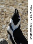 Small photo of An African Penguin making its braying call
