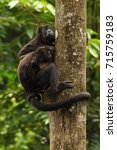 Small photo of A Mantled Howler monkey (Alouatta palliata) mother with a juvenile, climbing in a tree - photographed on Barro Colorado Island, Panama