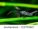 Small photo of Left side of Male black Leaf Footed Bug, squash bug, clown bug, tip-wilter (Arthropoda: Insecta: Hemiptera: Coreidae: Acanthocephala terminalis) with orange black antenna crawling on a green stem