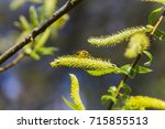 Small photo of Risen blooming inflorescences male flowering catkin or ament on a Salix alba (white willow) in early spring before the leaves. Collect pollen from flowers and buds. Honey plants Europe.