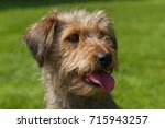Small photo of funny hairy dog, mixed spaniel dogs spaniel