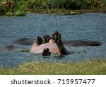 Small photo of Hippopotamus Rolling Belly-up in Blue Pond in Tanzania