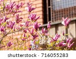 blossomed magnolia in front of... | Shutterstock . vector #716055283