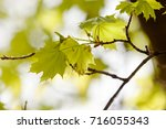 young green leaves in nature on ... | Shutterstock . vector #716055343