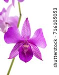 Purple Orchid  Dendrobium  On...