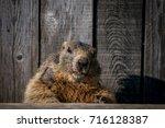 Mature Marmot