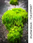 moss plant grows on rocky... | Shutterstock . vector #716149687