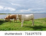 peaceful view with cattle by...   Shutterstock . vector #716197573