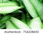 calathea majestica   | Shutterstock . vector #716228653