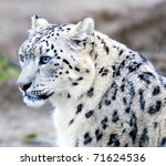 The Rare Snow Leopard