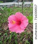 hibiscus rosa sinensis  chinese ... | Shutterstock . vector #716330017