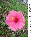hibiscus rosa sinensis  chinese ... | Shutterstock . vector #716330023