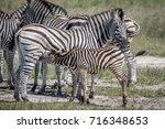 zebra calf suckling from his... | Shutterstock . vector #716348653