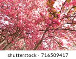 tree with pink blossoms in... | Shutterstock . vector #716509417