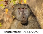 portrait of a male chacma... | Shutterstock . vector #716577097