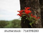 Small photo of Aeschynanthus andersonii, red flower on tree