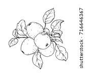ink  pencil    ripe fruits of... | Shutterstock .eps vector #716646367