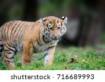 summer with tigris. siberian... | Shutterstock . vector #716689993