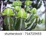 cadelebra tree