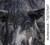detail of a wild boar in...   Shutterstock . vector #716727667