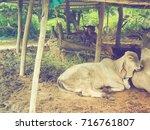 White Calf Sleeping Near  Cow...