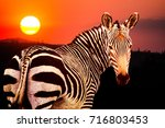 cape mountain zebra  equus... | Shutterstock . vector #716803453