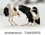 two white stork in winter.... | Shutterstock . vector #716810923
