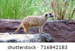 Slender Tailed Meerkats ...