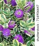 Lovely Purple Hebe Addenda...