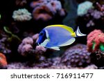 Small photo of Powder Blue Tang (Acanthurus leucosternon)