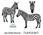 Zebra Set. Vector Isolated...