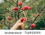 woman hand picking an apple | Shutterstock . vector #716933593