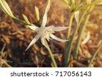 Peruvian Daffodil.  Ismene...